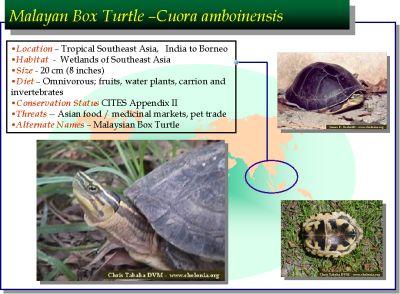 Malayan box turtle (Cuora amboinensis) – Darrell Senneke and
