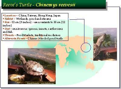 Chinemys Reevesii Reeve S Turtle Care Darrell Senneke
