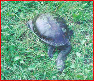 Treating extreme shell rot in Chelodina - Darrell Senneke
