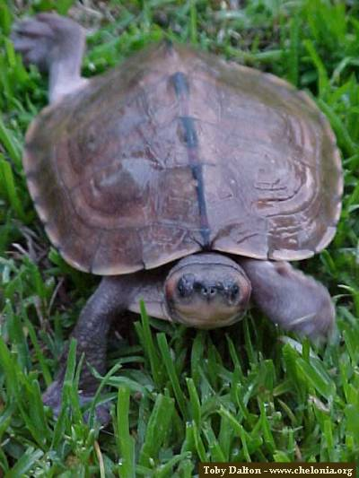 Roofed Turtle Amp Brown Roofed Turtle Pangshura Smithii