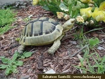 ibera greek tortoise - photo #42