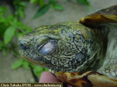 Box turtle eye infection
