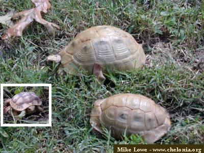 """Golden Greek"""" Tortoise - Testudo graeca terrestris - Darrell Senneke"""