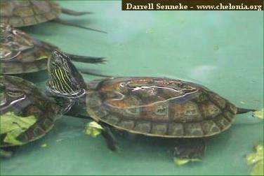 water quality is very important many problems with aquatic turtles can ...