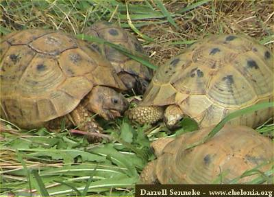 Healthy tortoises show good appetite