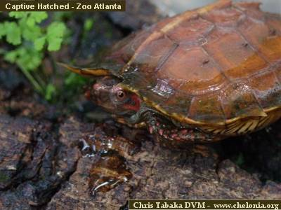 http://www.chelonia.org/heosemysspinosaCTa1.jpg