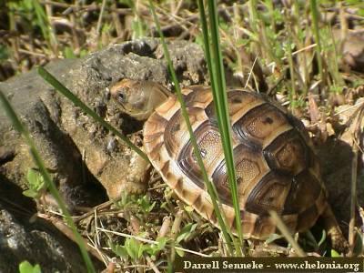 Golden Greek Tortoise Hatchling